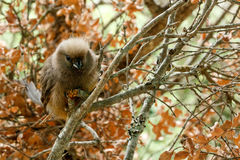 Mousebird sitting between the branches stock images