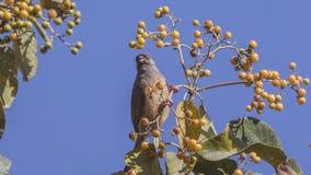 Mousebird tacheté sur le dessus d'arbre image stock