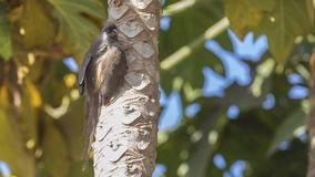 Mousebird tacheté sur le tronc d'arbre image libre de droits