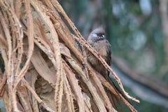 Mousebird tacheté Photographie stock libre de droits