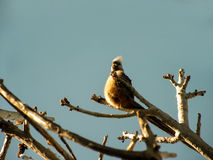 Mousebird 1 Royalty Free Stock Images