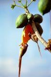Mousebirds die papaja eet Stock Afbeelding
