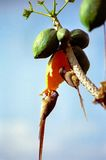 Mousebirds que come a papaia Imagem de Stock