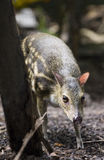 Mousedeer Royalty Free Stock Photos