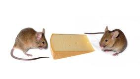 mouses сыра Стоковая Фотография