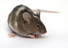 Mouses Royalty Free Stock Images