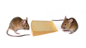 mouses with cheese Stock Photography