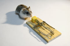 Mousetrap. Cute rodent about to get trapped in a mousetrap (no pets were harmed in the making of this picture Stock Photography