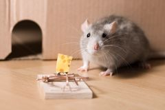 Mousetrap and cheese. Rat and mousetrap with cheese royalty free stock image