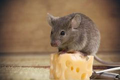 Mousetrap Risk. Mouse Humor Danger Animal Intelligence Passion Stock Photo