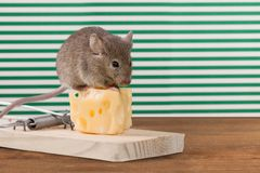 Mousetrap Risk Royalty Free Stock Photo