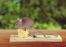 Mousetrap Risk Stock Images