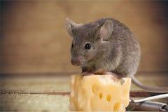 Mousetrap ryzyko Zdjęcie Stock