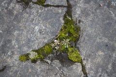 Mousse épaisse s'élevant sur une roche Images stock