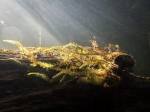 Mousse aquatique d'antipyretica de Fontinalis avec des rayons de soleil en rivière image stock