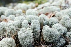 Mousse blanche/mousse arctique de lichen/Cladonia Stellaris/renne images libres de droits