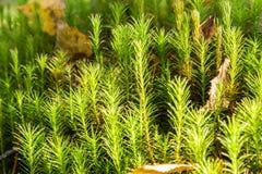 Mousse commune de chapeau de cheveux dans la forêt Images stock