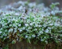 Mousse congelée sur un tronçon d'arbre au printemps Image libre de droits