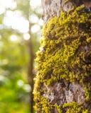 Mousse couverte sur la vieille écorce d'arbre à l'arrière-plan de nature Usine d'environnement de forêt tropicale photos stock