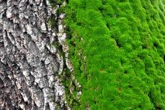 Mousse d'arbre Photos libres de droits