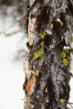 Mousse d'hiver Images stock