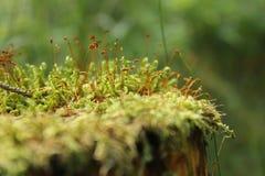 Mousse dans une forêt à un arrière-plan vert Images libres de droits