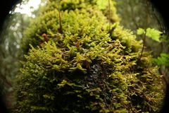 Mousse de couleur verte qui a soutenu dans l'écorce Photos stock