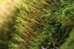 Mousse de sommeil de Cypress - macro Photos stock