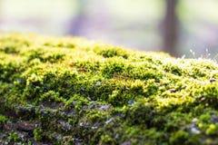 Mousse dense de forêt s'élevant sur un arbre en été photographie stock