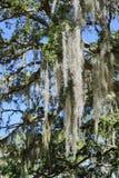 Mousse espagnole dans l'arbre Photo stock