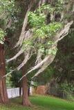 Mousse espagnole dans les arbres image libre de droits