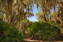 Mousse espagnole pendant des arbres au parc de Kissimmee de lac, la Floride Photographie stock libre de droits