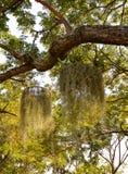 Mousse espagnole (usneoides de Tillandsia) Photographie stock