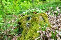 Mousse et fleurs blanches dans la forêt du Palatinat au printemps l'allemagne Image libre de droits