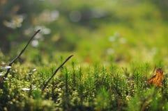 Mousse et lichen Photos stock
