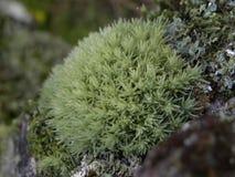 Mousse et lichen Image libre de droits