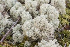 Mousse et lichen (champignon) Photo libre de droits
