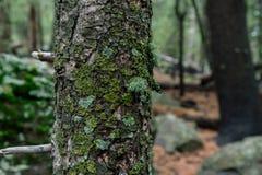 Mousse et lichen sur Forest Giant photos stock