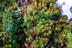Mousse et neige d'avril sur le marais Photo libre de droits
