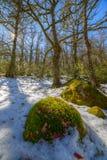 Mousse et neige dans la forêt d'hiver Image libre de droits