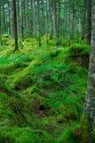 Mousse et pins rouges japonais Images stock