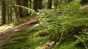 Mousse et plancher de forêt couvert par fougère clips vidéos