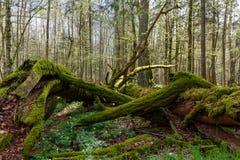 Mousse menteuse de chêne mort enveloppée Image libre de droits