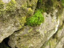 Mousse parmi des pierres en gros plan La mousse verte se développe sur les pierres antiques Photo libre de droits