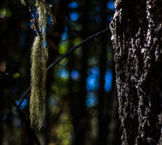 Mousse pendant d'un arbre Images stock