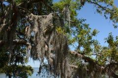Mousse pendant des arbres Images stock
