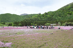 Mousse rose au Mt fuji Image libre de droits