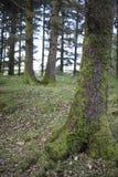 Mousse s'élevant dans la forêt d'hiver Image libre de droits