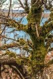 Mousse s'élevant sur de vieilles branches d'arbre photos libres de droits