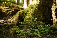 Mousse sur des arbres image stock